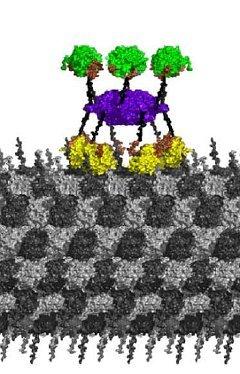 Модель взаимодействия фермента CaMKII с микротрубочкой. Изображение из статьи авторов.