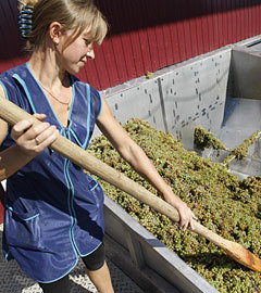 "На приемном пункте винограда завода ""Цимлянские вина"". Фото ИТАР-ТАСС, Валерий Матыцин"