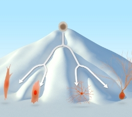 Дифференцировку клеток иногда сравнивают с падением с горы: упасть и попасть в определенную