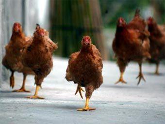 Я - курица-бегунья) Бегаю быстрее всех, когда корм насыпают или собаки гоняют!