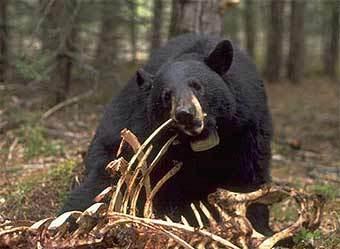 В США идет охота на медведя-людоеда.