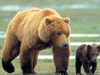 Медведи гризли, фото с сайта images.allmoviephoto.com.