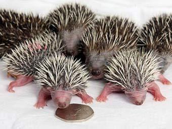 Как рождаются ёжики :)