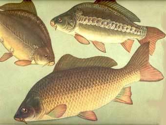 Карп (Cyprinade) Карп - большая всеядная рыба