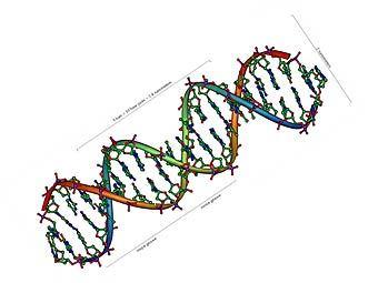 Структура молекулы ДНК. Изображение с сайта wikipedia.org