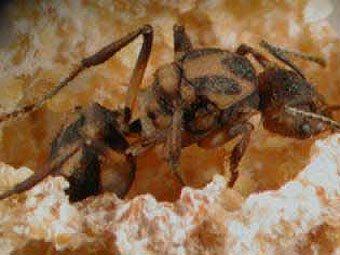 Королева муравья-листореза.  Фото с сайта biology-blog.com.