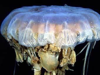 В водах Антарктиды нашли гигантских медуз