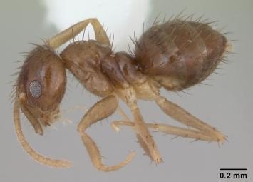 """Муравей подвида """"Paratrechina"""". Фото c сайта Ant Web"""