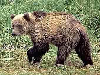 В аэропорт Ербогачена выходят медведи.