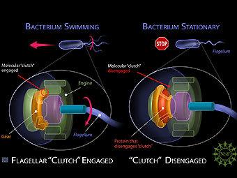 Красным цветом показан белок EpsE, работающий как сцепление в...