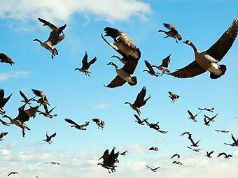 17.08.2010 Из-за аномальной жары перелетные птицы могут покинуть наши края раньше.