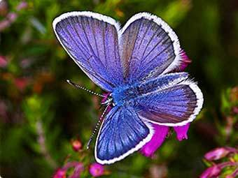 Аргус голубянка. Фото с сайта butterfly-conservation.org