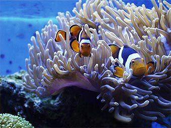 """Рыбы-клоуны и их  """"домашняя """" актиния.  Фото с сайта saltaquarium.about.com."""