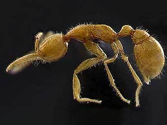 Найденный учеными муравей Martialis heureka. Фото авторов исследования