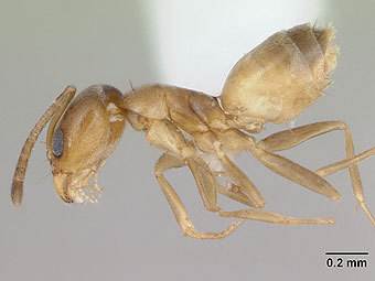 Муравей вида Forelius pusillus. Фото с сайта antweb.org
