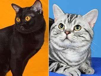 Кошки бомбейской (слева) и американской короткошерстой пород. Фото с сайта: www.cfa.org