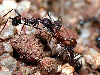 Муравьи Aphaenogaster cockerelli. Фото Alex Wild с сайта discoverlife.org