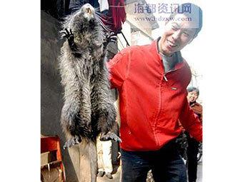 В Китае поймали гигантскую крысу.