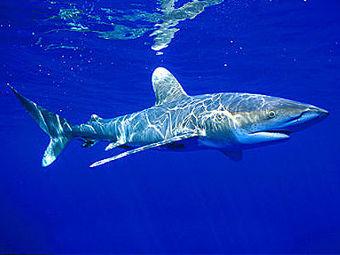 Экологи обеспокоены массовым истреблением акул в Красном море.