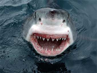 Акула напала на отдыхающего на юге Приморского края, в результате...
