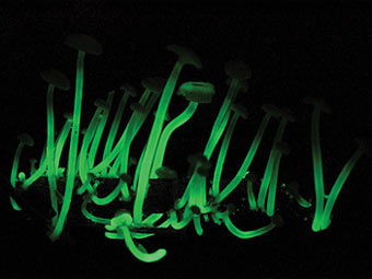 Светящиеся грибы Mycena luxaeterna. Фото Cassius V. Stevani, Chemistry Institute, University of Sao Paulo