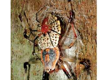 Биологи обнаружили самого большого плетущего паутины паука из известных на настоящий момент, сообщает BBC News.