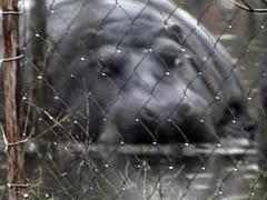 Сбежавший бегемот добровольно вернулся в зоопарк