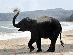 Тайских слонов научили играть в баскетбол