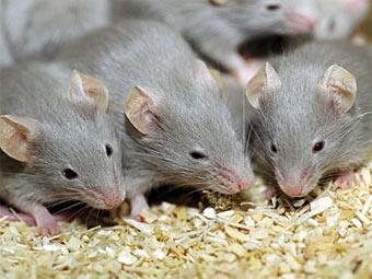Швед отомстил бывшей жене выводком мышей