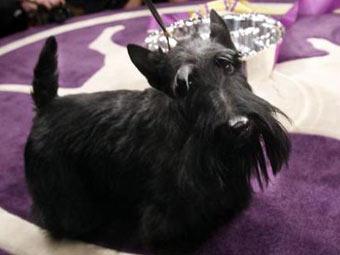 18.02.2010. Черный скотч-терьер по кличке Сэди победил в ежегодном конкурсе Westminster Kennel Club - самой...