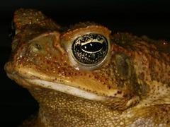 Кошачий корм поможет австралийцам истребить ядовитых жаб