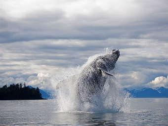 Горбатый кит. Фото с сайта mnh.si.edu