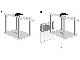 Экспериментальная конструкция, когда птица не видит себя (А) в зеркале и видит (В). Изображение авторов исследования