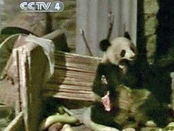 В Китае голодная панда напала на свинарник