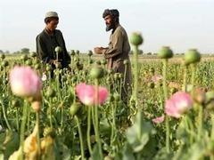 НАТО отвергло просьбу России об уничтожении маковых полей в Афганистане