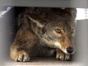 Пойманный койот. Фото, переданное в эфире FOX News