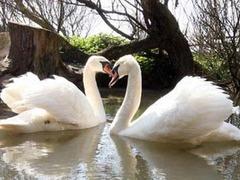 В британском заповеднике поселились гомосексуальные лебеди