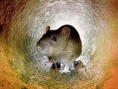 Крысы съели экзаменационные работы непальских студентов