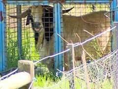 На австралийских пенсионеров напал взбесившийся козел