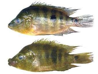"""Ученые обнаружили вид рыб, который  """"готовится """" к..."""