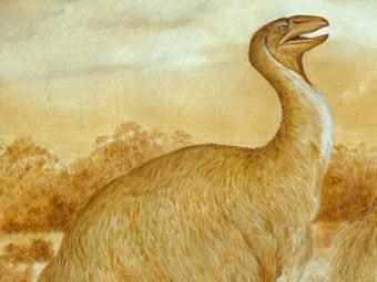 Гениорнис. Изображение с сайта australianmuseum.net.au