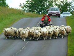 Верховный суд Греции велел освещать овец по ночам