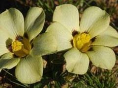 """Новый вид цветка назвали """"вувузелой"""""""