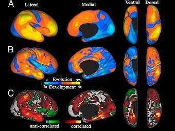 Сравнение развития мозга при взрослении (А и В) с развитием мозга в эволюции (С). Изображение авторов исследования