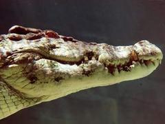 Гребнистый крокодил отказался катать на себе пьяного австралийца