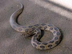Житель индийской деревни на спор съел ядовитую змею