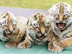 Овчарка стала приемной матерью паре амурских тигрят