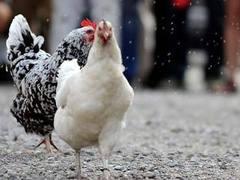 В Детройте состоялись куриные бега
