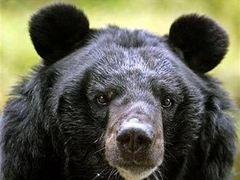 Забравшийся в дом к американцам медведь поел фруктов и уволок чучело