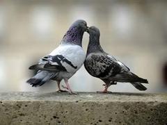 Французским голубям начали давать противозачаточное
